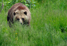 Grizzly Approaches. Brown Bear/Grizzly in a meadow, advancing on the photographer's position Stock Photography