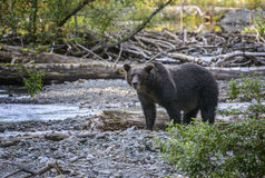 Grizzly attention. A grizzly bear looks at the camera as he walks along a creek in the Tongass national forest, Alaska Royalty Free Stock Photo
