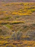 Grizzly in Autumn Tundra, het Nationale Park van Denali, Alaska royalty-vrije stock foto's