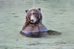 Grizzly bathing Royalty Free Stock Images