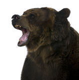 Grizzly bear, 10 years old, growling