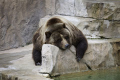 Grizzly Bear. Sleeping on rock Stock Photo
