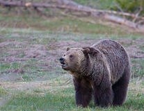 Grizzly Bear. In Yellowstone national park Stock Photo