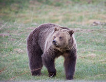 Grizzly Bear. In Yellowstone national park Royalty Free Stock Photography