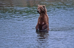Grizzly bear. Female grizzly bear standing in Alaska river Royalty Free Stock Photo