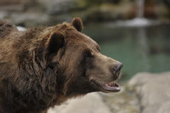 Grizzly bear. Closeup of grizzly bear next to water Stock Image