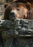 Grizzly Bear. Staring while resting on rock stock photography