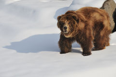 Grizzly bear Royalty Free Stock Photo