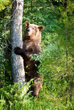 Grizzly Bear. Adult Grizzly Bear Standing Upright by Tree in Forest royalty free stock images