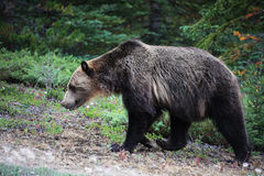 Grizzly bear. A (wild) grizzly bear in Jasper National Park Stock Photo