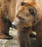 Grizzly bear. Portrait of grizzly bear or silvertip outdoors Royalty Free Stock Photography
