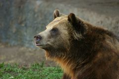The Grizzly Bear. The Brown Grizzly Bear watches the public at the zoo Royalty Free Stock Photo