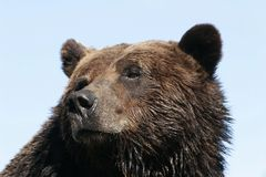 Grizzly Bear. Head shot of a grizzly bear, with slightly wet fur, against a light blue, clear sky; taken in British Columbia Stock Image