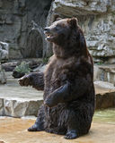 Grizzly bear. Photo of a grizzly bear standing Stock Images