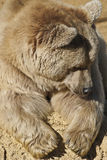 Grizzly bear. Image of a relaxed polar bear Stock Images