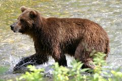 Grizzly bear. In search of salmon, Stewart & Hyder. Border of Canada and Alaska Stock Image