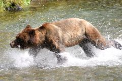 Grizzly bear. In search of salmon, Stewart & Hyder. Border of Canada and Alaska Stock Images