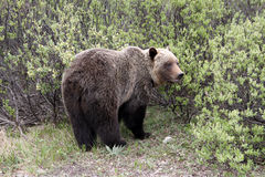 Grizzly Bear. In Banff National Park. Alberta. Canada royalty free stock photos