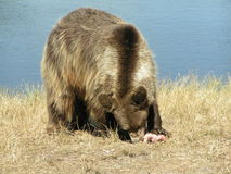 Grizzly bear. Eating Royalty Free Stock Photography