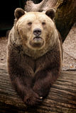 Grizzly bear. Big grizzly bear in the ZOO Stock Photo