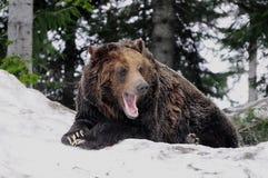 Grizzly bear. Stock Photos