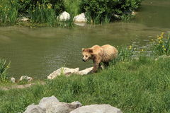 Grizzly bear. Near a river stock images