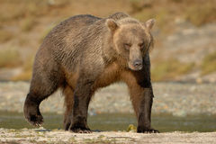Grizzly Bear. Walking on beach Stock Image