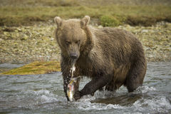 Grizzly Bear. Eating a caught salmon Stock Photo