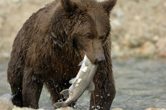Grizzly Bear. Catching salmon Royalty Free Stock Photo