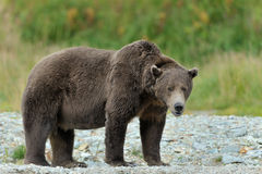 Grizzly Bear. Standing at river edge Stock Image