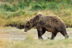 Grizzly Bear. Walking through grass Stock Photography