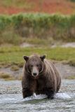 Grizzly Bear. In river catching salmon Royalty Free Stock Images