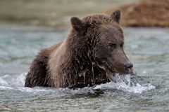 Grizzly Bear. Catching Salmon in rapids Stock Photography