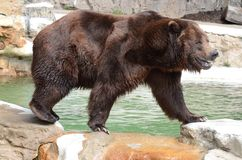 Grizzly bear. A male grizzly bear walks over some rocks near a pool of water royalty free stock image