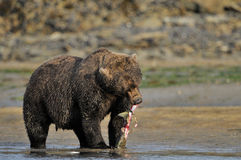 Grizzly Bear. Eating a caught salmon Royalty Free Stock Photo