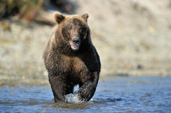 Grizzly Bear. Fishing in river Royalty Free Stock Photos