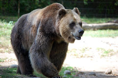 Grizzly Bear. Walking alone through woods Stock Image