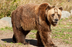 Grizzly bear. Front view of a large grizzly bear Royalty Free Stock Image