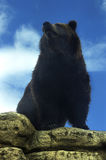 Grizzly Bear. Against a blue sky and perched on a rock overlooking the area stock photography