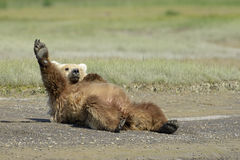 Free Grizzly Bear Stock Image - 31167301