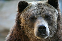 Grizzly bear. (Ursus arctos) (captive royalty free stock photo