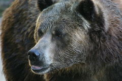 Grizzly bear. (Ursus arctos) (captive royalty free stock images