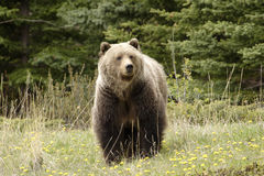 Grizzly bear,. Grizzly bear shot in Canadian Rocky Mountains Stock Images