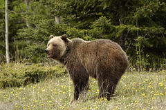 Grizzly bear,. Grizzly bear shot in Canadian Rocky Mountains Royalty Free Stock Image