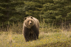 Grizzly bear,. Grizzly bear shot in Canadian Rocky Mountains Royalty Free Stock Photography