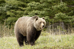 Grizzly bear,. Grizzly bear shot in Canadian Rocky Mountains Royalty Free Stock Photo
