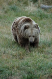 Grizzly Bear 4. A grizzly bear foraging near Yellowstone National Park, Montana Royalty Free Stock Image