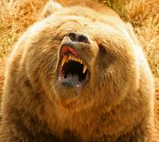 Grizzly Bear. (Ursus arctos). Close-up of North American . Can be unpredictable with young cubs in close proximity Royalty Free Stock Image
