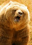Grizzly Bear. (Ursus arctos). Close-up of North American . Can be unpredictable with young cubs in close proximity Royalty Free Stock Photos