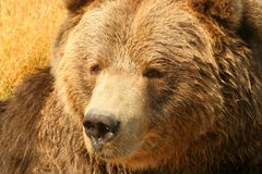 Grizzly Bear. (Ursus arctos). Close-up of North American . Can be unpredictable with young cubs in close proximity Stock Photos